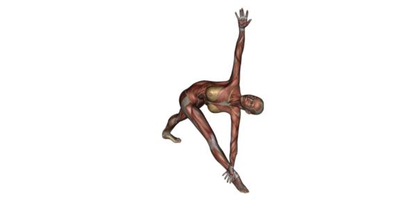 Reverse Triangle Pose - Yoga Anatomy