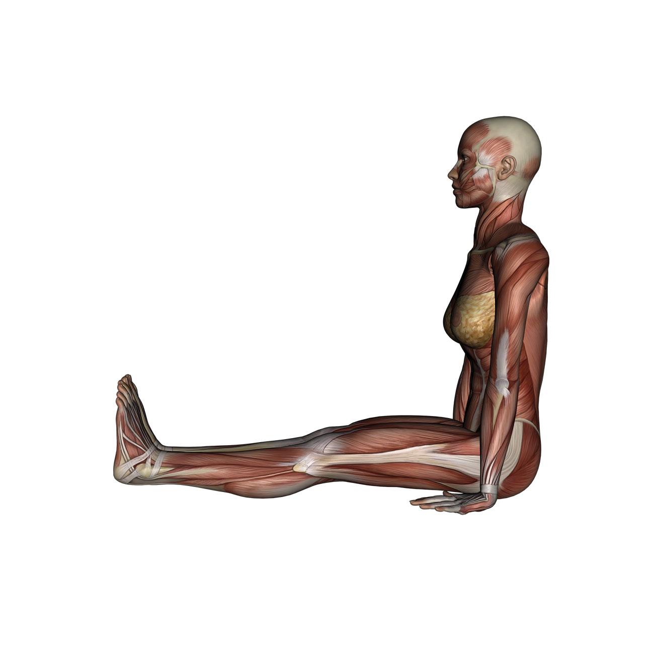 Staff Pose - Yoga Anatomy