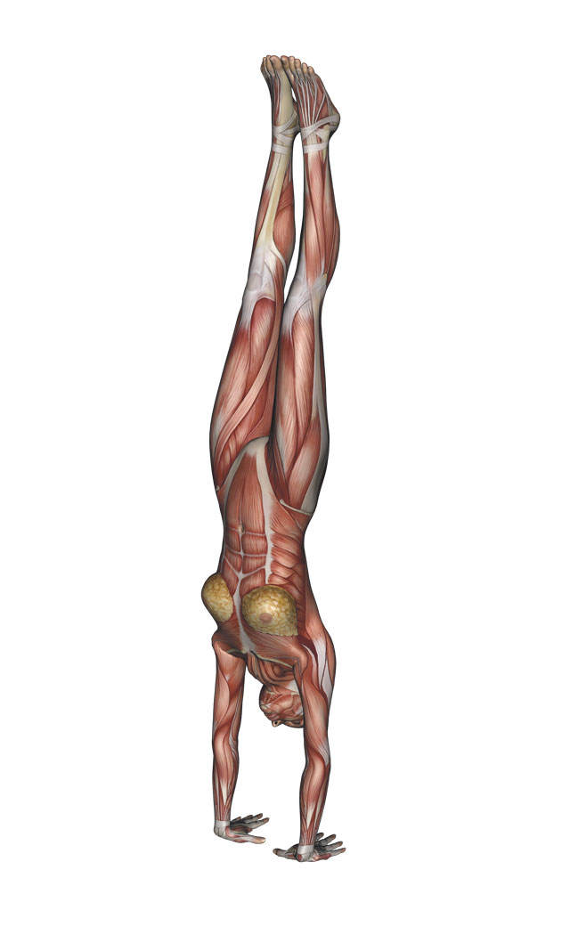 Handstand - Yoga Anatomy