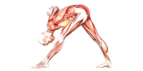 Intense Side Stretch Pose Yoga Anatomy