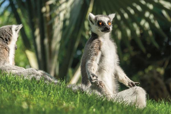 Lemur planet yoga