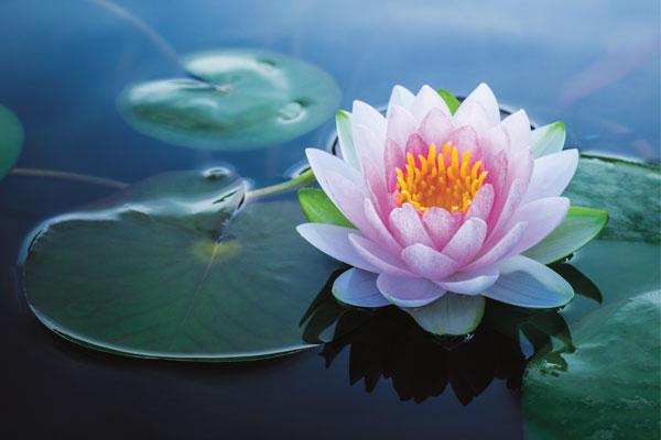 Lotus - the jewel of enlightenment