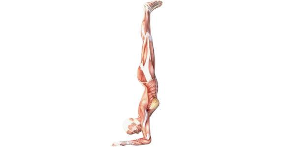 Forearm Balance - Yoga Anatomy