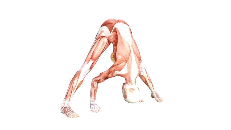 Wide legged Standing Forward Bend - Yoga Anatomy